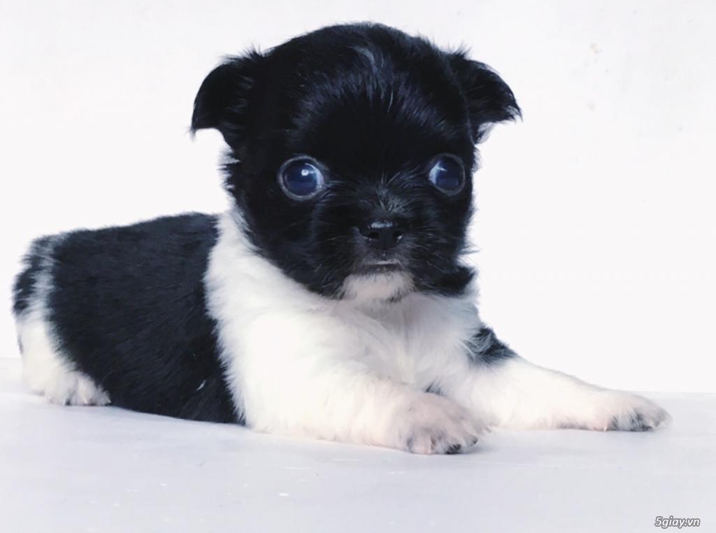 2 bé Chihuahua Chuẩn đẹp có giấy VKA - 4