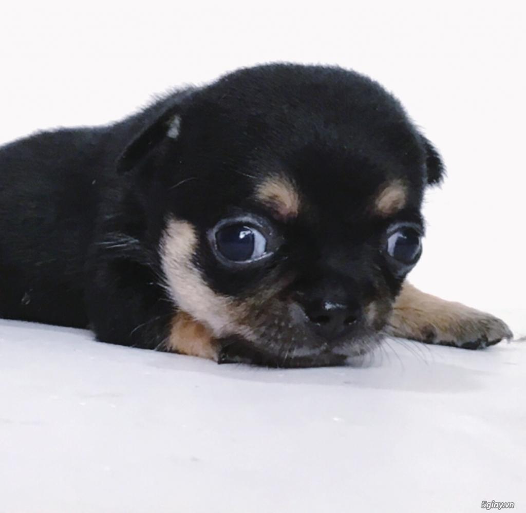 2 bé Chihuahua Chuẩn đẹp có giấy VKA - 1