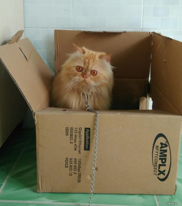 Cần Bán Mèo Ba Tư lai Anh Lông Dài hơn 2 tuổi nặng 3Kg5 - 1