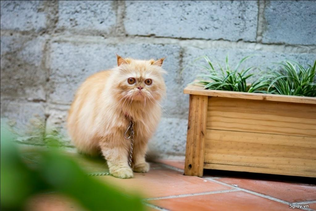 Cần Bán Mèo Ba Tư lai Anh Lông Dài hơn 2 tuổi nặng 3Kg5