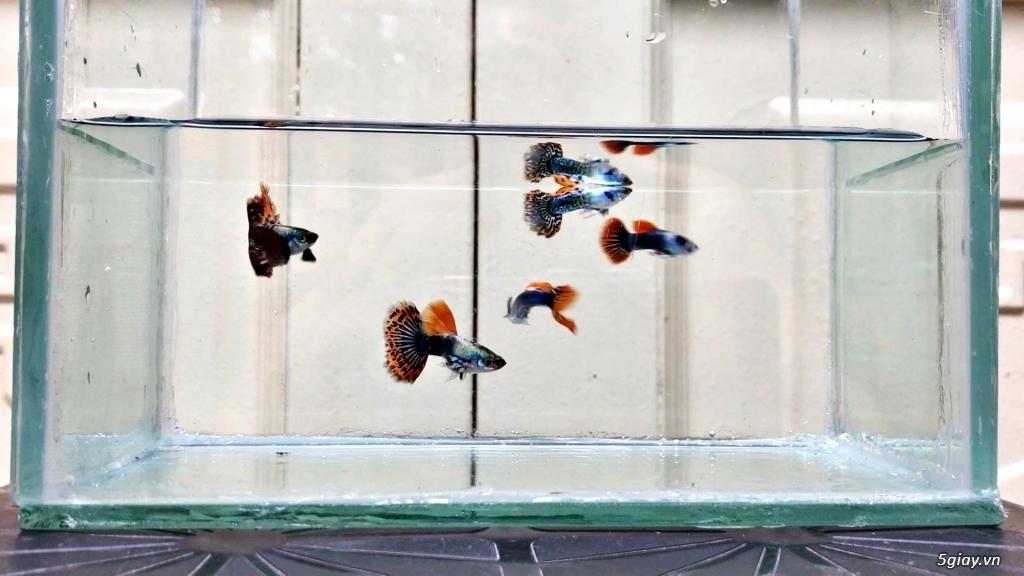 Cá 7 màu thủy sinh đẹp