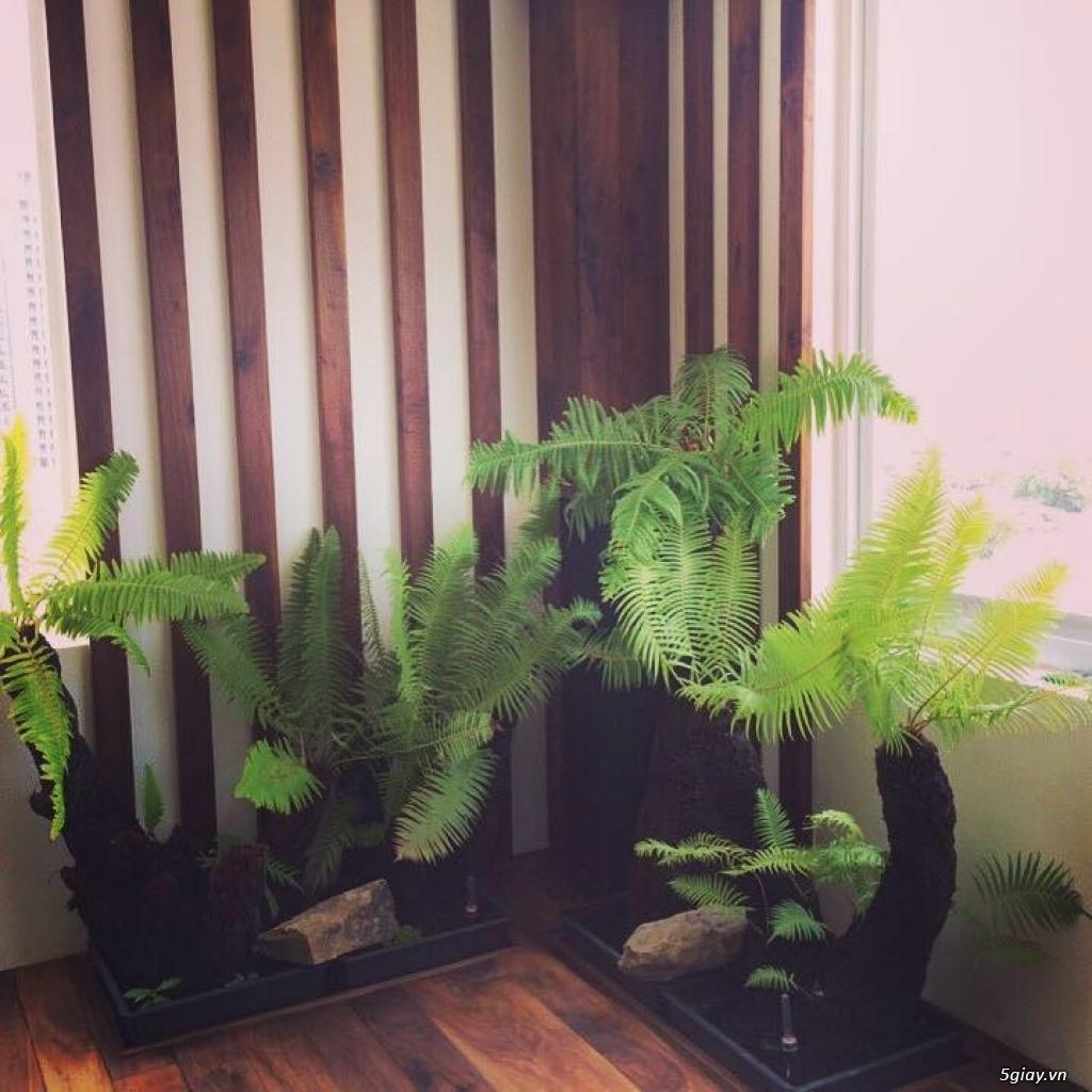 HCM - Dương xỉ thân gỗ, dương xỉ vua, culi, tổ phụng, cây ráy