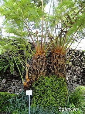 HCM - Dương xỉ thân gỗ, dương xỉ vua, culi, tổ phụng, cây ráy - 6