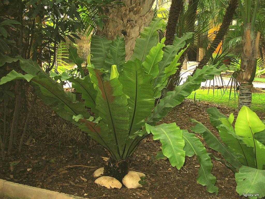 HCM - Dương xỉ thân gỗ, dương xỉ vua, culi, tổ phụng, cây ráy - 7