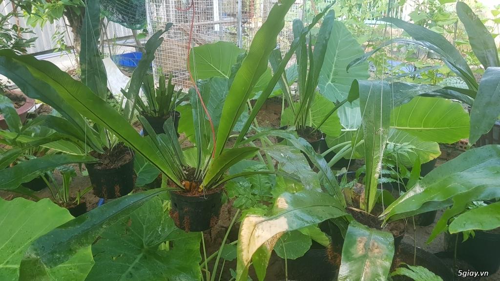 HCM - Dương xỉ thân gỗ, dương xỉ vua, culi, tổ phụng, cây ráy - 10