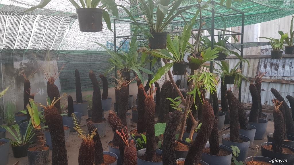 HCM - Dương xỉ thân gỗ, dương xỉ vua, culi, tổ phụng, cây ráy - 11