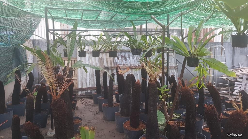 HCM - Dương xỉ thân gỗ, dương xỉ vua, culi, tổ phụng, cây ráy - 9
