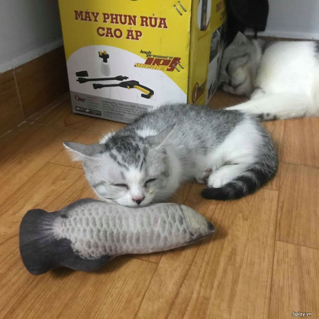Mèo munchkin cái 2,5 tháng - 1