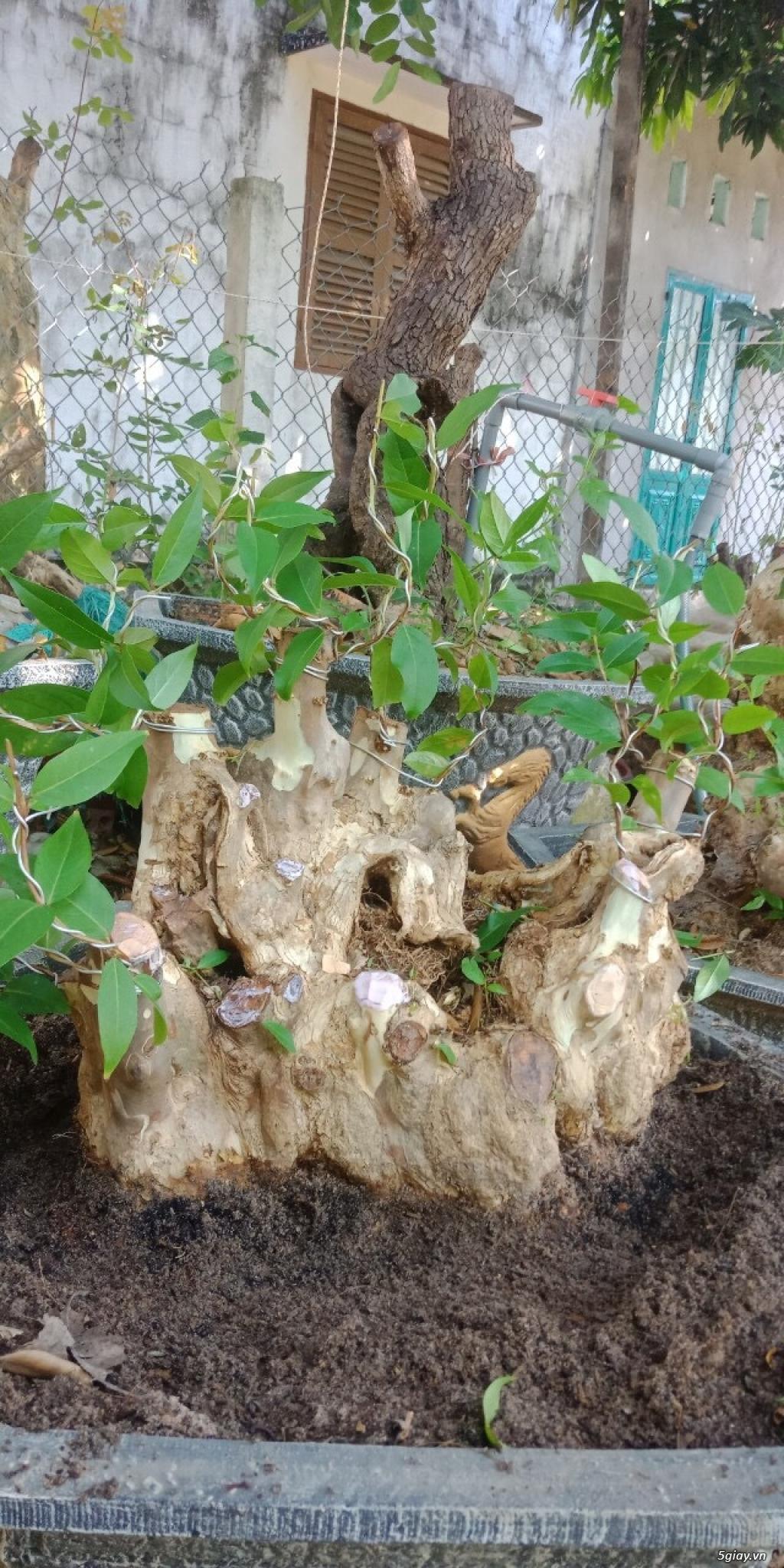 bằng lăng lá nhỏ hoa tím cây bonsai thế đẹp - 2