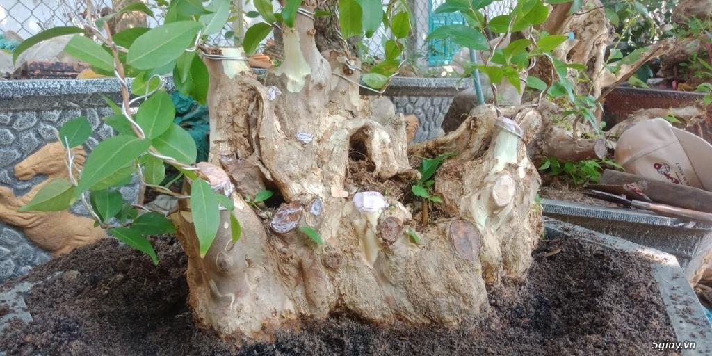 bằng lăng lá nhỏ hoa tím cây bonsai thế đẹp - 1