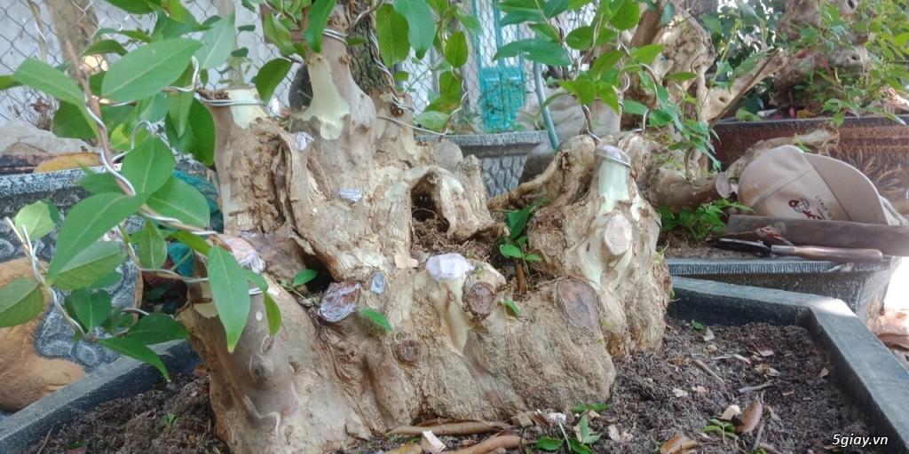 bằng lăng lá nhỏ hoa tím cây bonsai thế đẹp