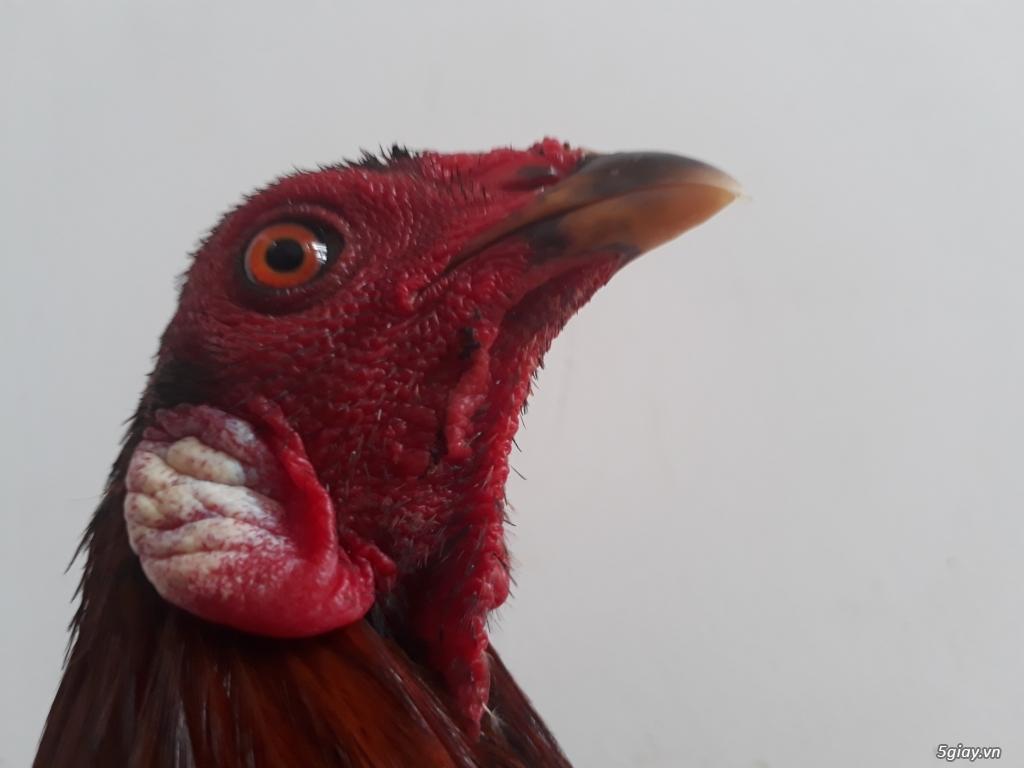 Q11 gà tre đá tiền - 5