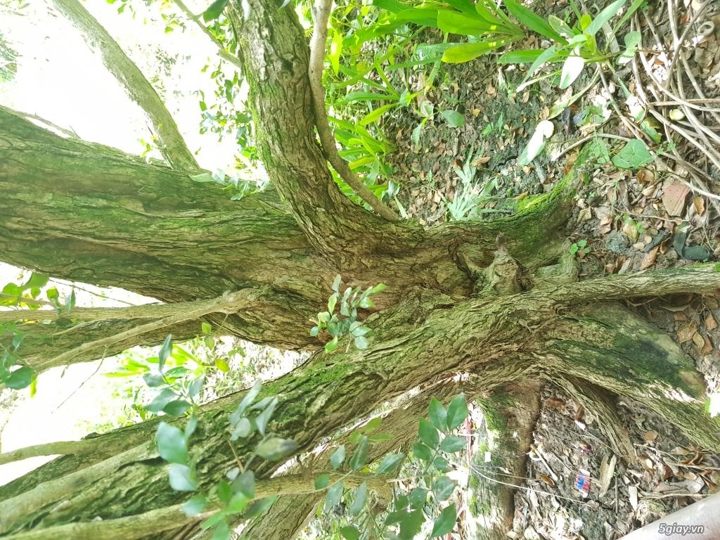 Cần bán cây nguyệt quế cổ thụ