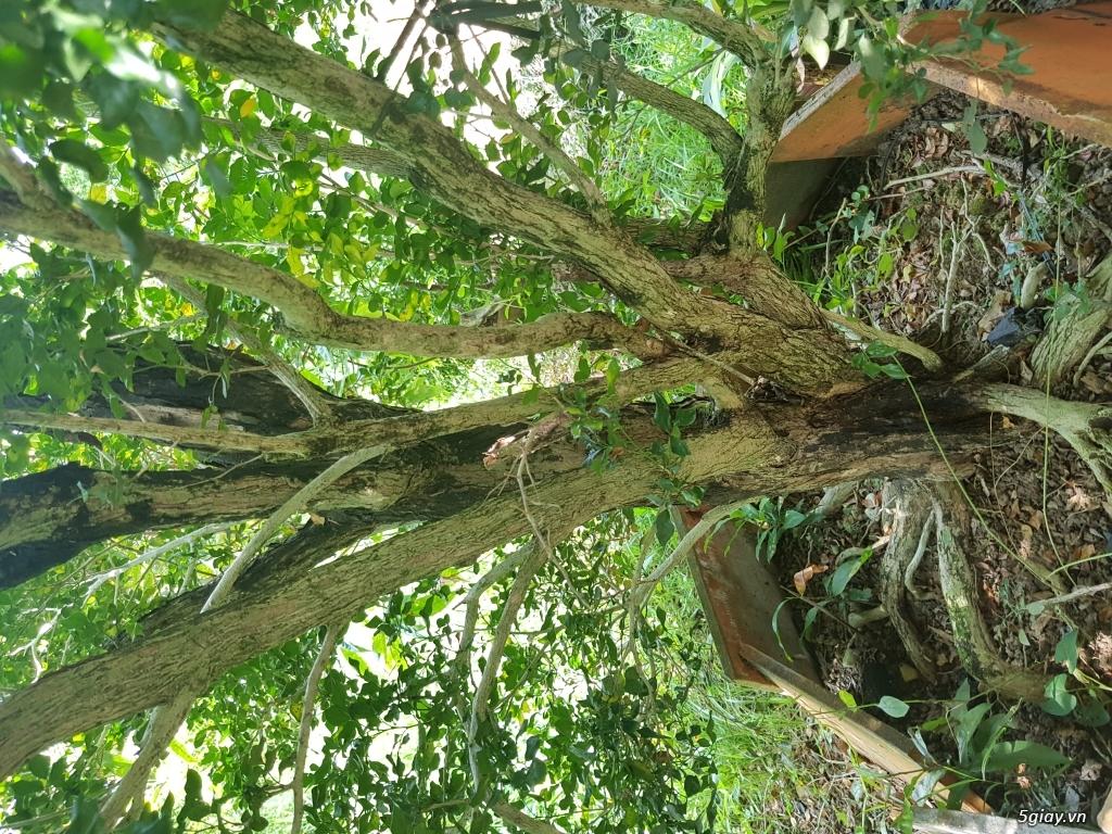 Cần bán cây nguyệt quế cổ thụ - 2