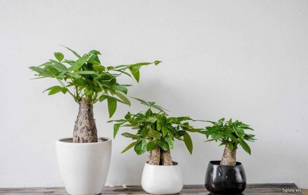 Cung cấp sỉ lẻ cây cảnh phong thủy, để bàn, trang trí nội thất - 22