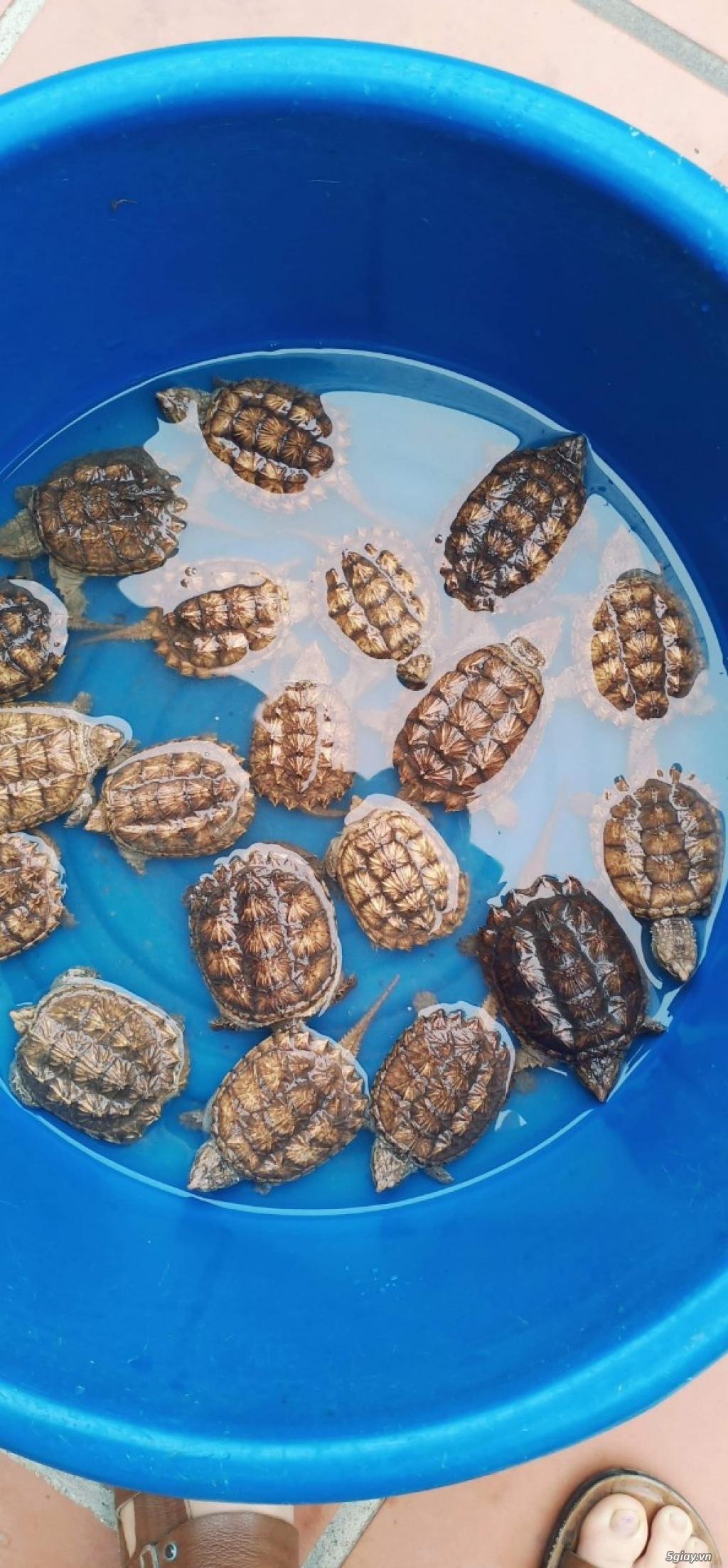 Rùa Cảnh Online - Chuyên các loại rùa common, rùa cá sấu - 4