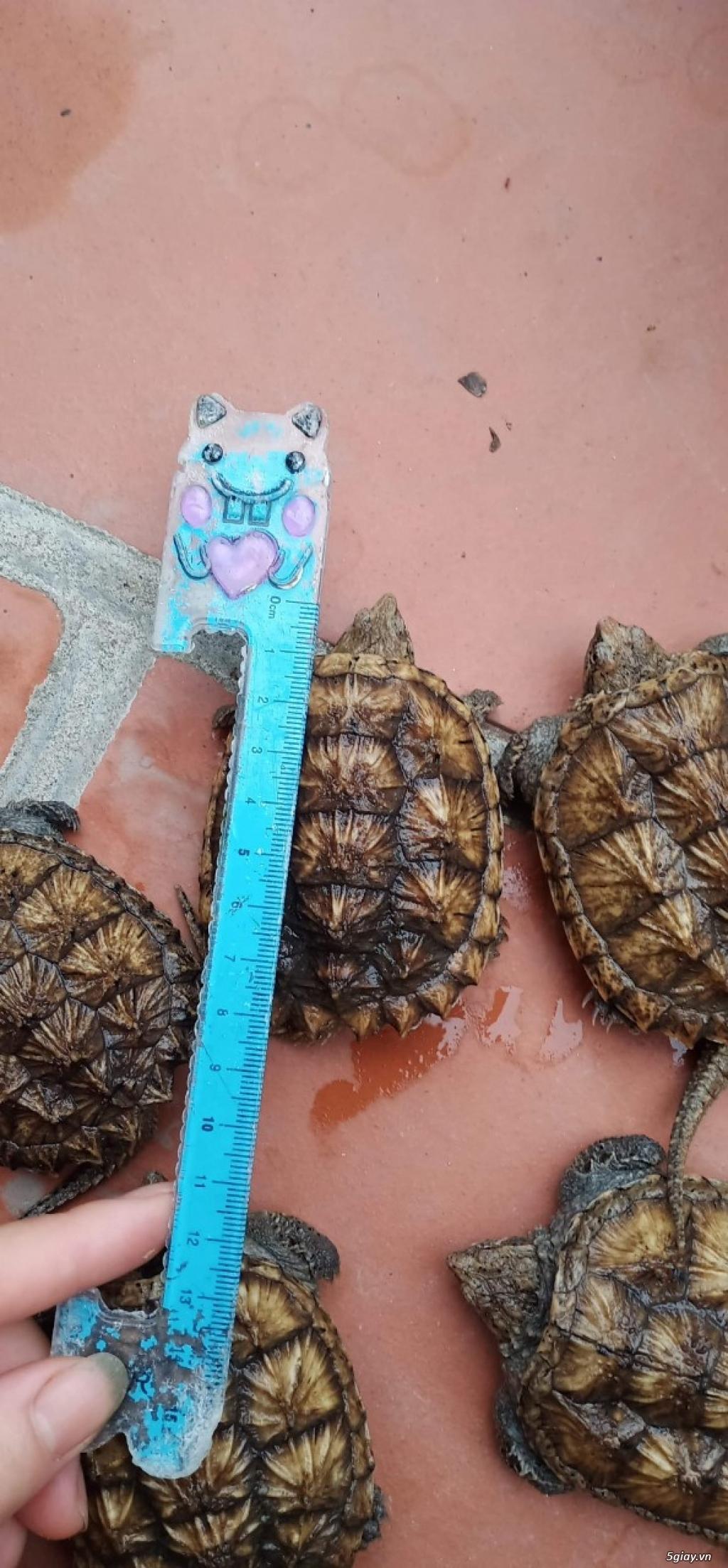 Rùa Cảnh Online - Chuyên các loại rùa common, rùa cá sấu - 6