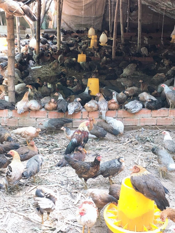 Nhà cung cấp gà tre Triệu Vy – Chuyên cung cấp gà tre làm sẳn