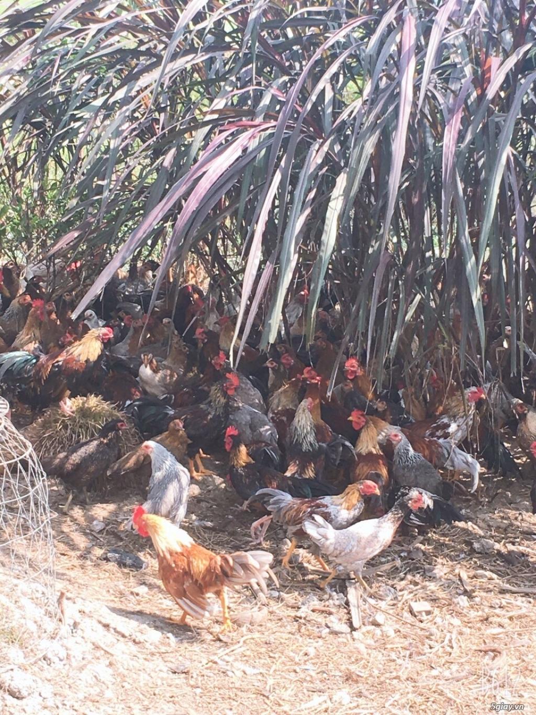 Nhà cung cấp gà tre Triệu Vy – Chuyên cung cấp gà tre làm sẳn - 5