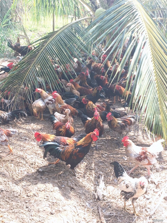 Nhà cung cấp gà tre Triệu Vy – Chuyên cung cấp gà tre làm sẳn - 4