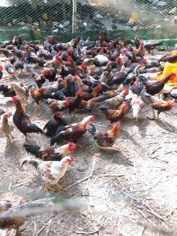 Nhà cung cấp gà tre Triệu Vy – Chuyên cung cấp gà tre làm sẳn - 2