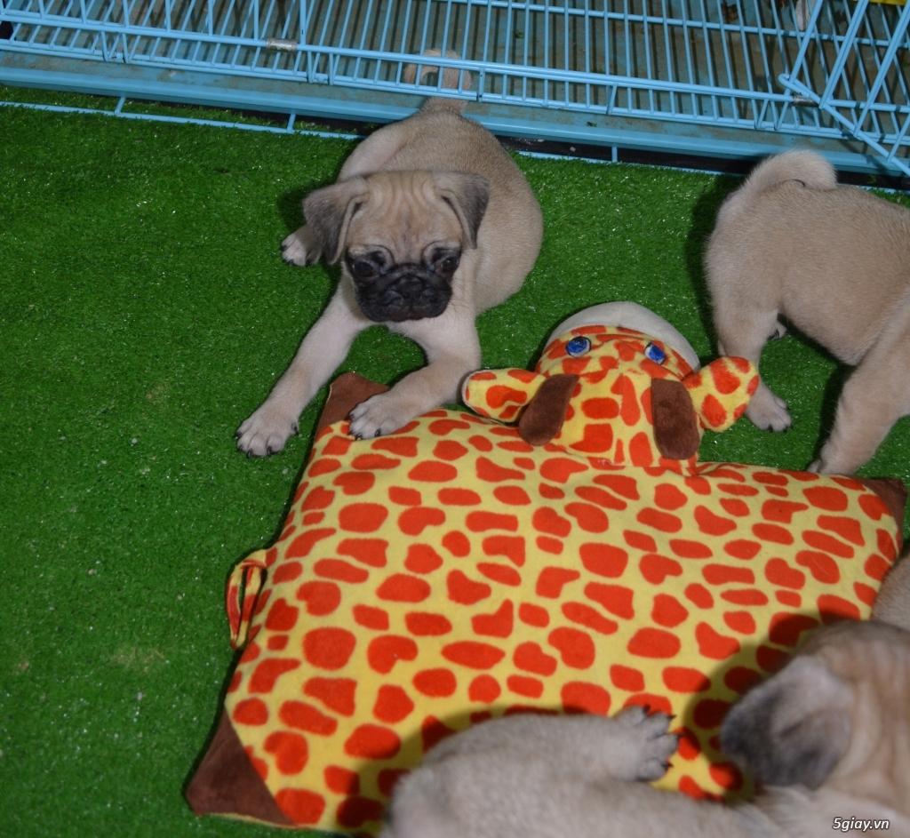 Chó Pug con (chó mặt xệ) - cún nhà đẻ