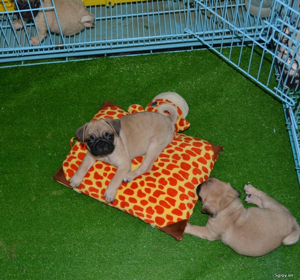 Chó Pug con (chó mặt xệ) - cún nhà đẻ - 1
