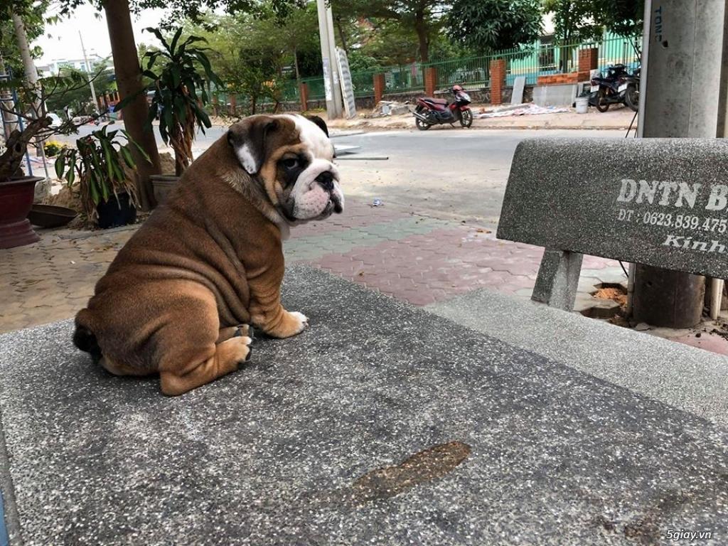 Chó Bull anh chuẩn đẹp