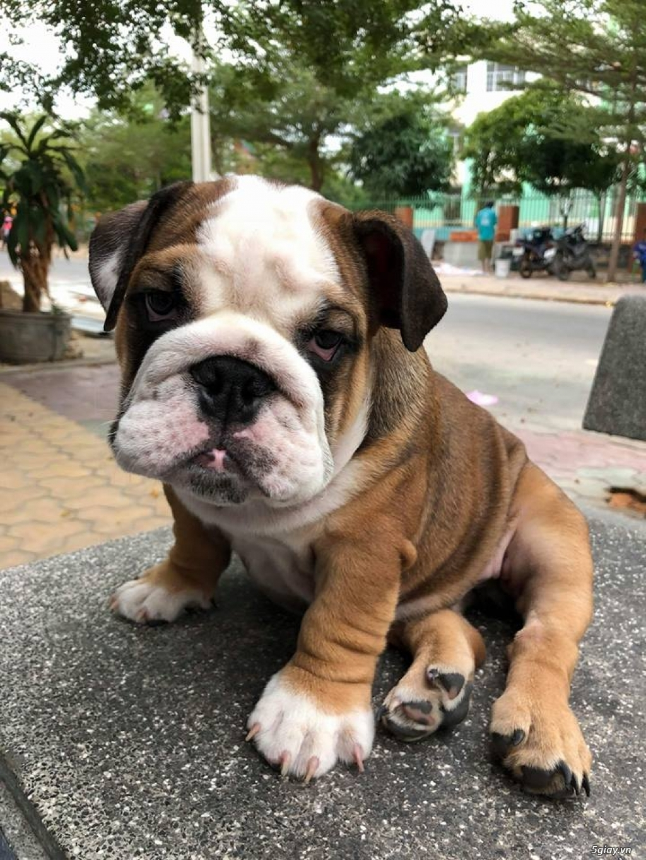 Chó Bull anh chuẩn đẹp - 3