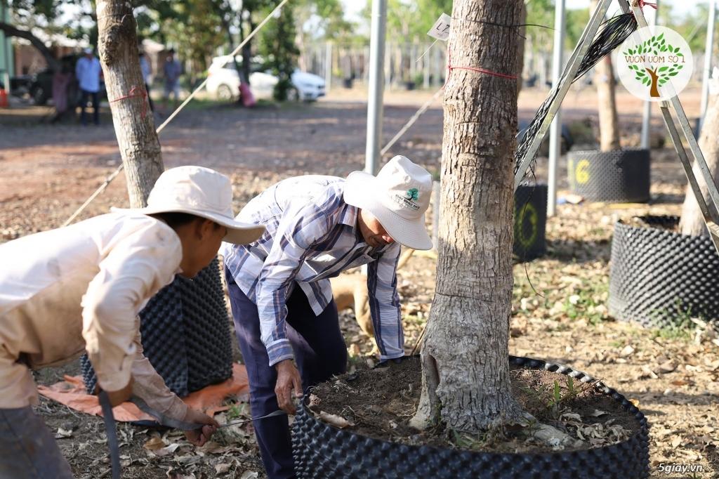 Cây Lộc Vừng Bóng Mát chiều cao 3 - 7 m. Có lá rễ sẵn