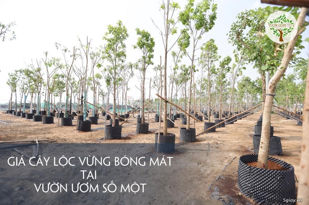 Cây Lộc Vừng Bóng Mát chiều cao 3 - 7 m. Có lá rễ sẵn - 2