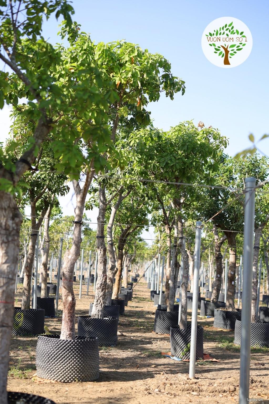 Cây Lộc Vừng Bóng Mát chiều cao 3 - 7 m. Có lá rễ sẵn - 4