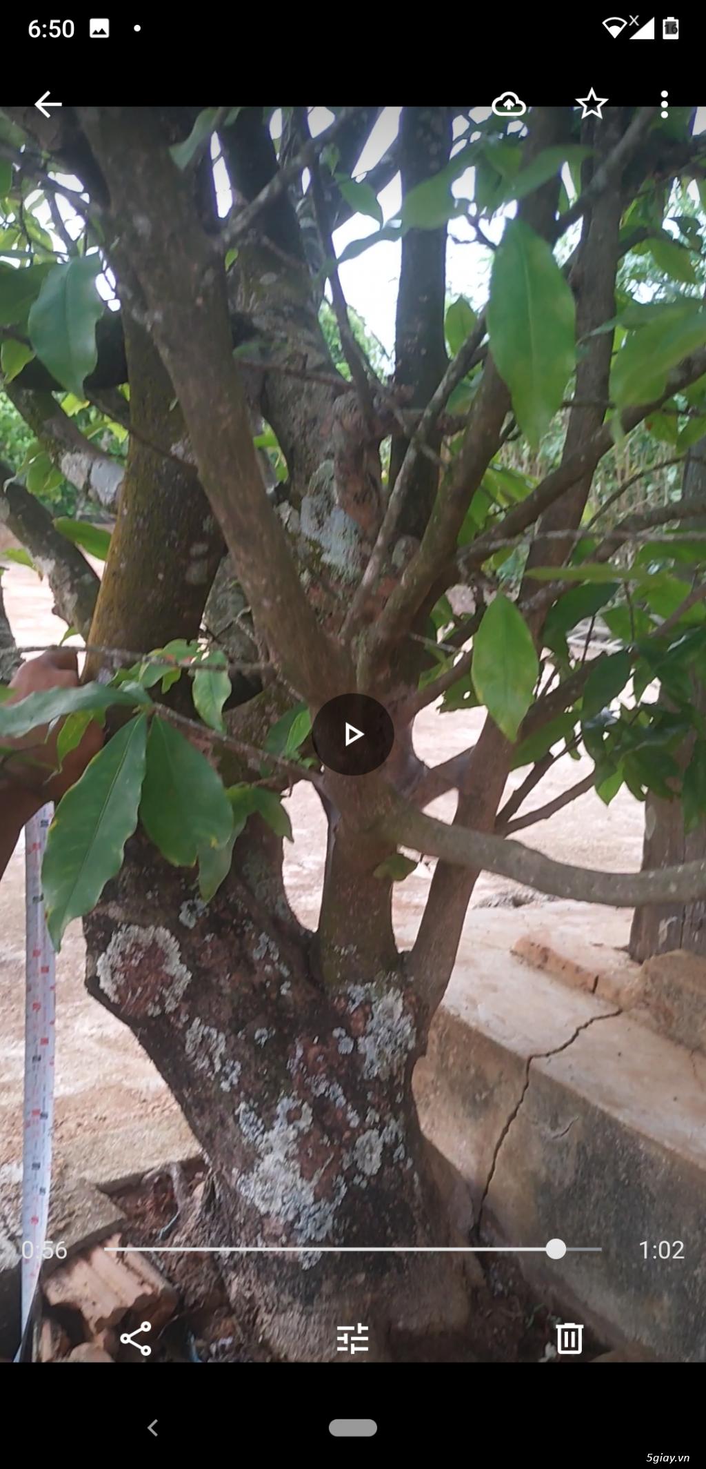 Cần bán cây mai cổ thụ - 3