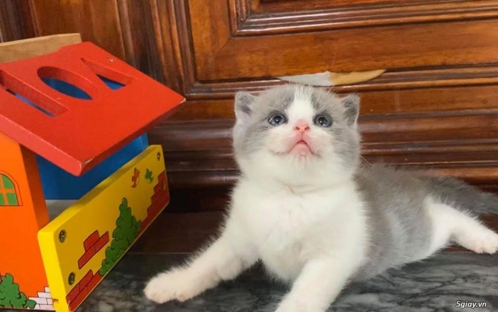 Mèo Lông ngắn cái 4th - 2
