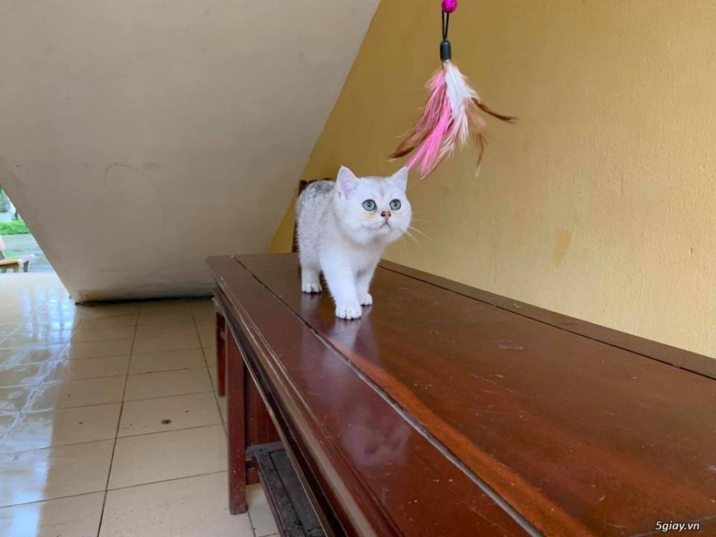 Mèo Lông ngắn đực 5th