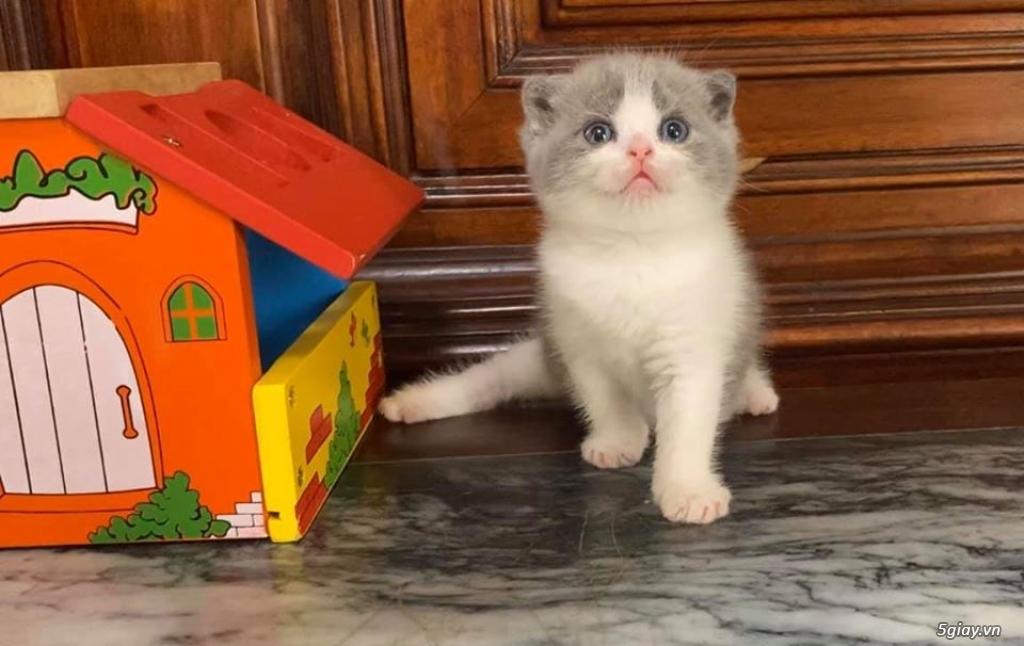 Mèo Lông ngắn cái 4th - 1