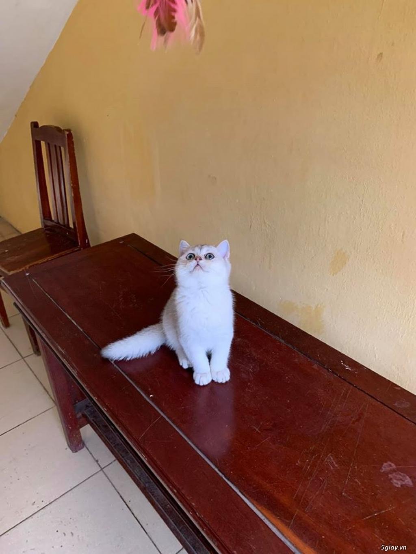 Mèo Lông ngắn đực 5th - 3