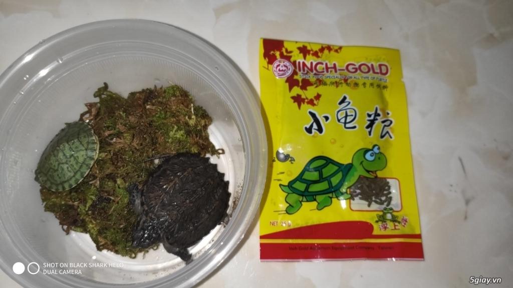 Rùa Cảnh Online - Chuyên các loại rùa common, rùa cá sấu