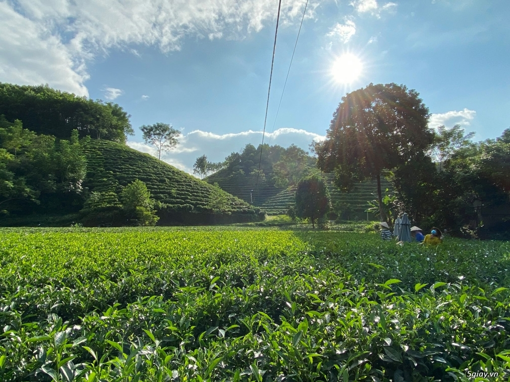 Trà Thái Nguyên 100% Nguyên chất, 150k/kg - 3