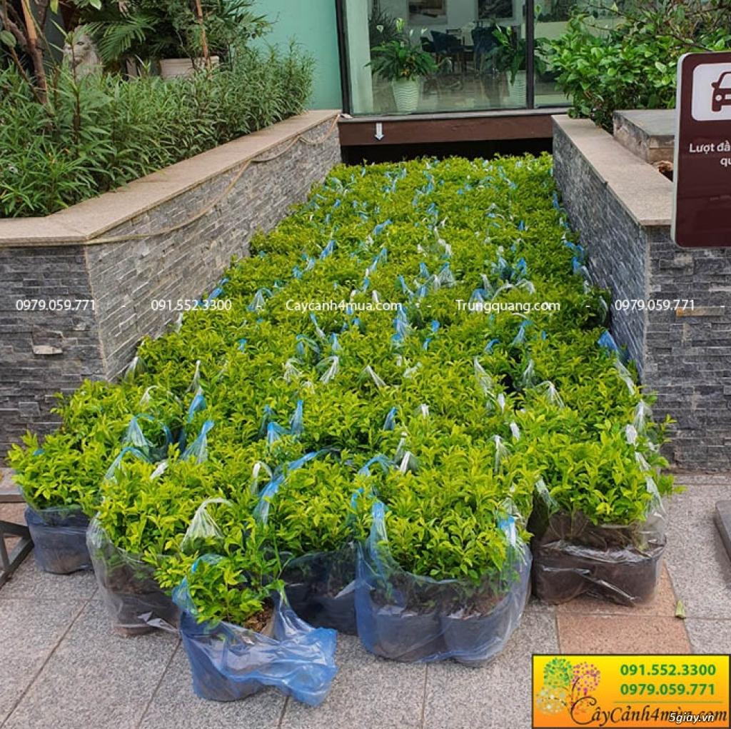 Bán cây trồng nền công trình tại hà Nội