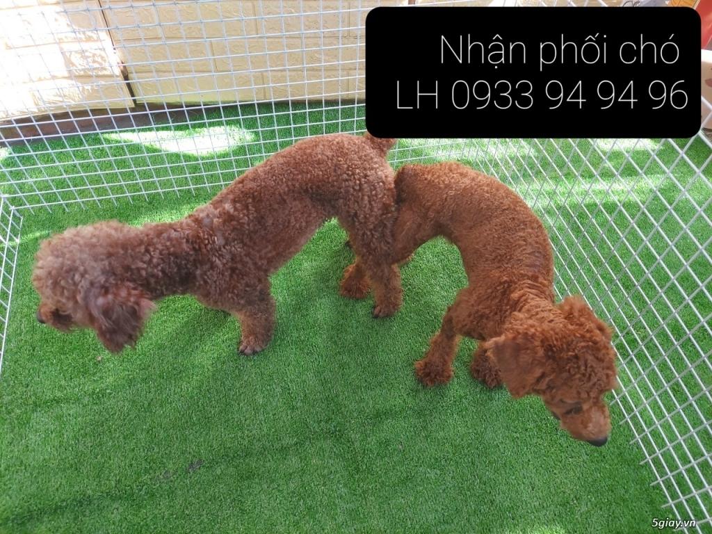 Phối giống chó Poodle tại TPHCM - LH 0933949496 - 11