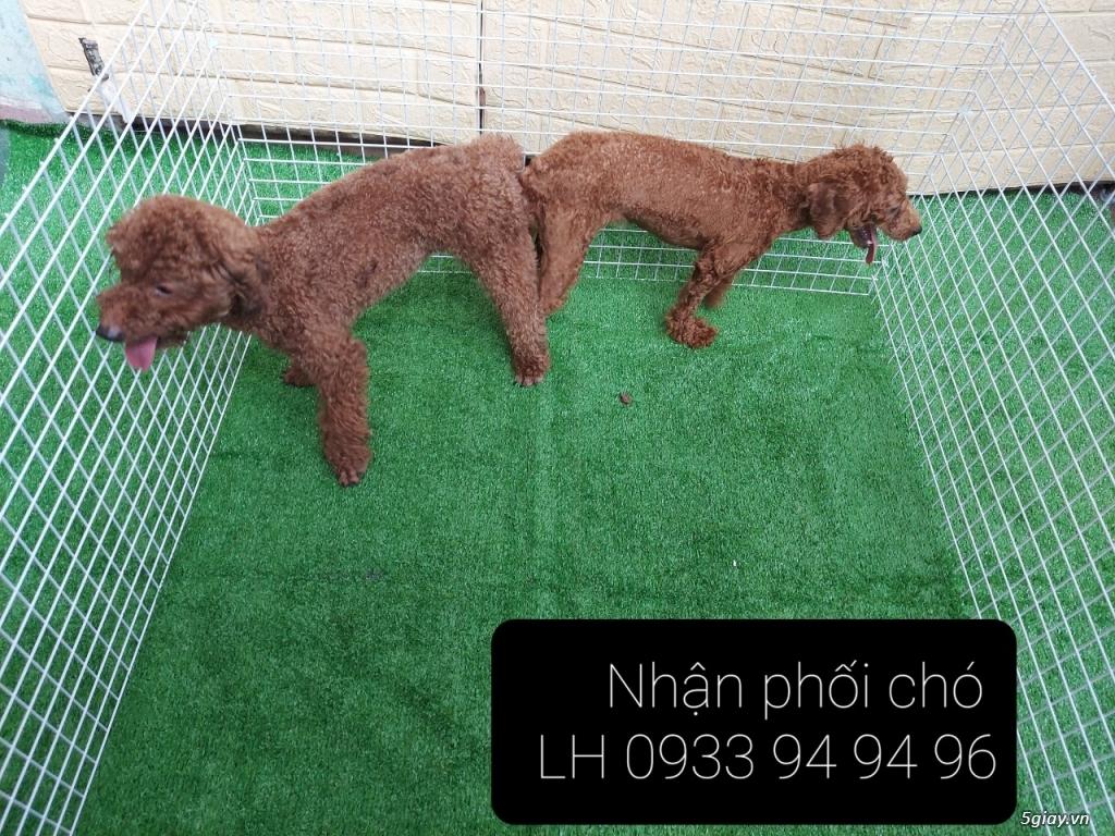 Phối giống chó Poodle tại TPHCM - LH 0933949496 - 14