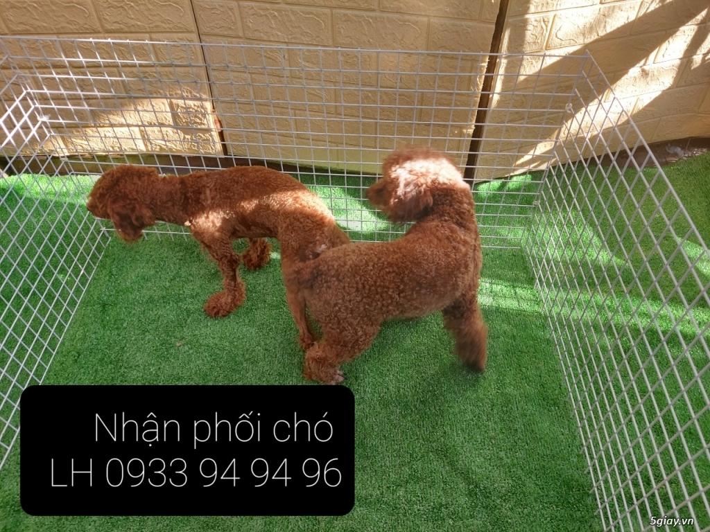 Phối giống chó Poodle tại TPHCM - LH 0933949496 - 1