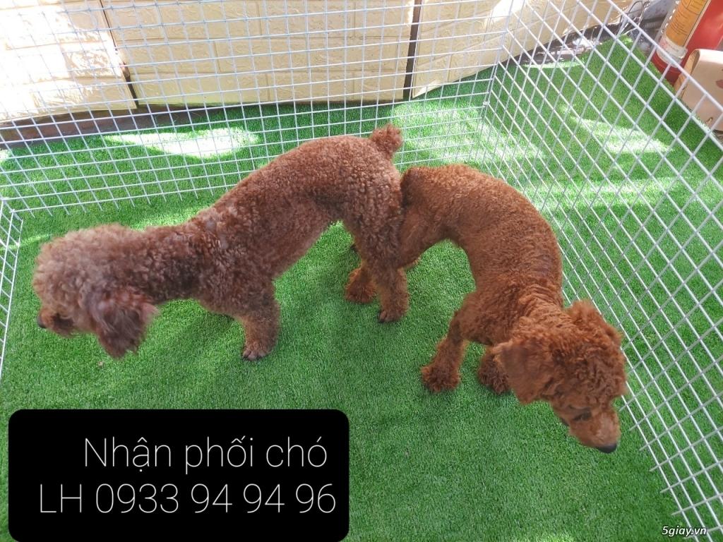 Phối giống chó Poodle tại TPHCM - LH 0933949496 - 16