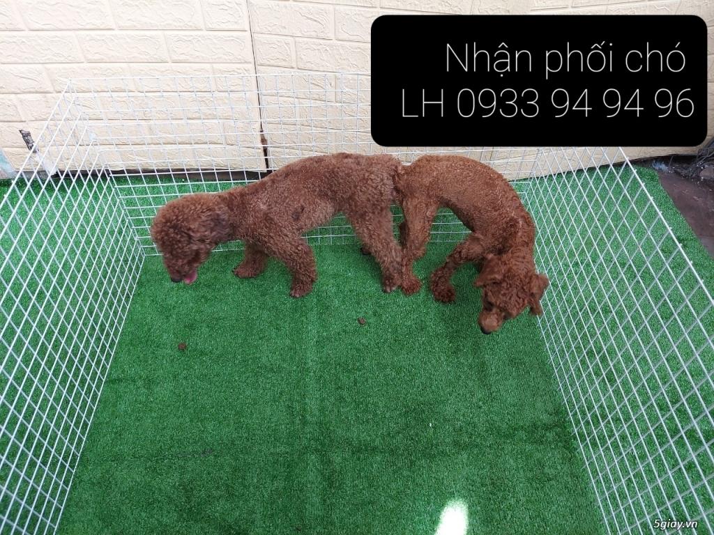 Phối giống chó Poodle tại TPHCM - LH 0933949496 - 10