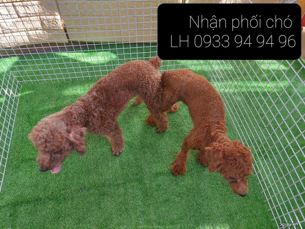 Phối giống chó Poodle tại TPHCM - LH 0933949496 - 7