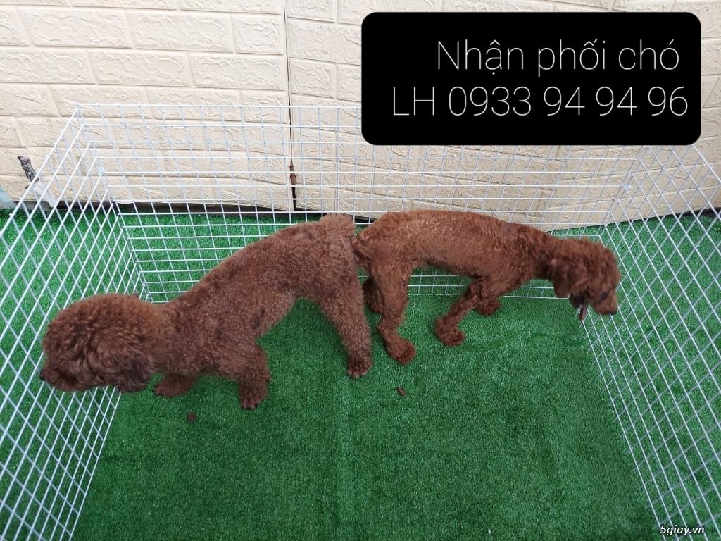 Phối giống chó Poodle tại TPHCM - LH 0933949496 - 5