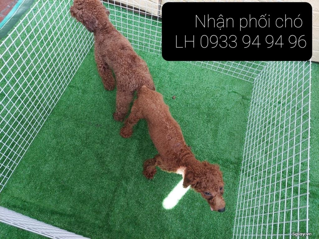 Phối giống chó Poodle tại TPHCM - LH 0933949496 - 2