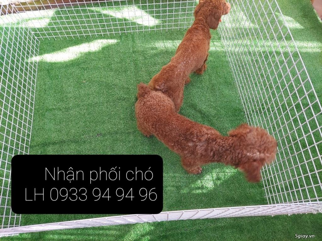 Phối giống chó Poodle tại TPHCM - LH 0933949496 - 6