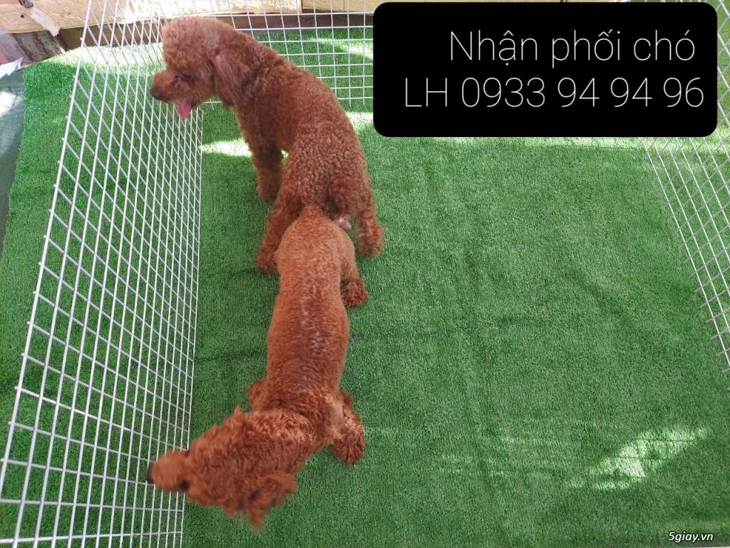 Phối giống chó Poodle tại TPHCM - LH 0933949496 - 19